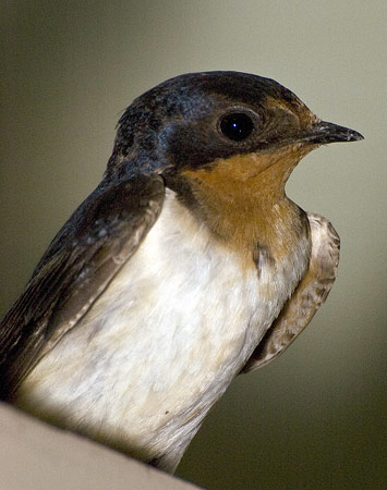 Female barn swallow