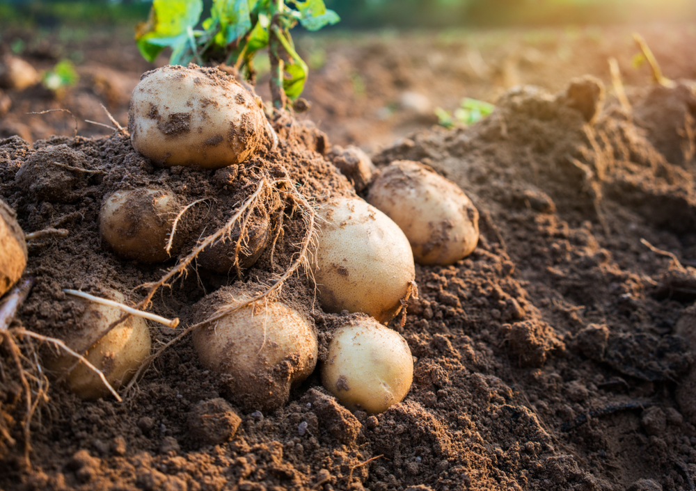 Potatoes are a top crop.