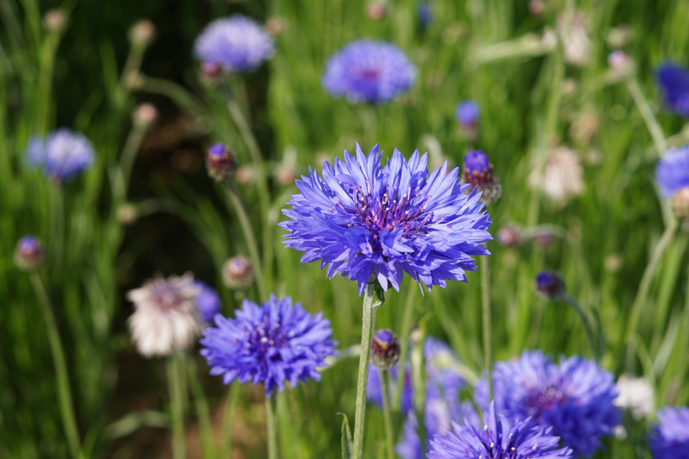 Related to the daisy, the cornflower is a small, slender, annual plant.