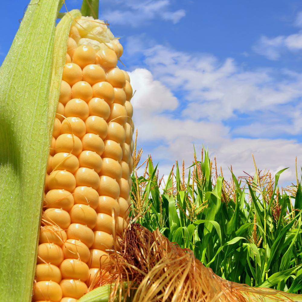 Corn Popular During Summer
