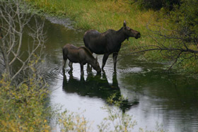 A mother moose and her young calf