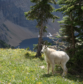 Mountain Goat in early Spring