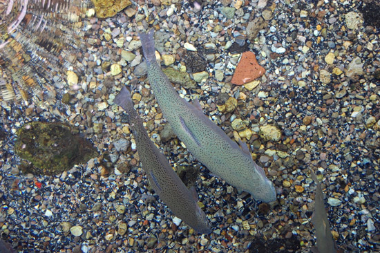 Cutthroat Trout in Clear Mountain Stream