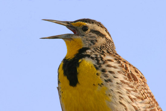 Western Meadowlark Close-Up