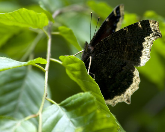 Side View of Mourning Cloak Butterfly