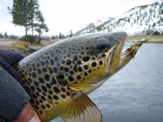 Catching a Brown Trout on the Firehole River