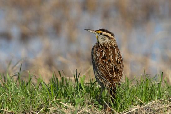 Juvenile Western Meadowlark