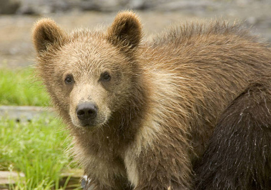 Juvenile Grizzly Bear