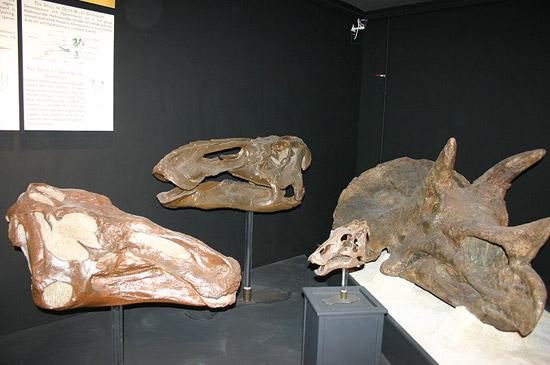Duck-billed Dinosaur Fossil Skulls
