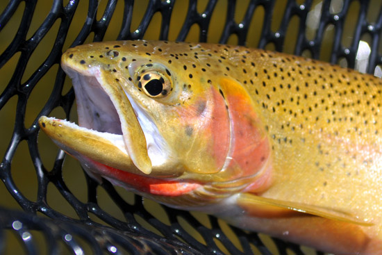 Close-up of Cutthroat Trout