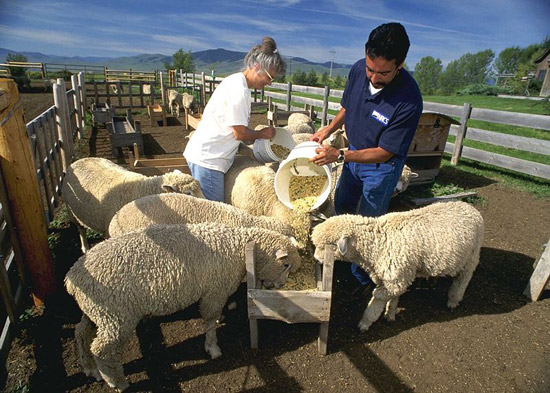 Feeding Corriedale Sheep on a Ranch in Mission Valley