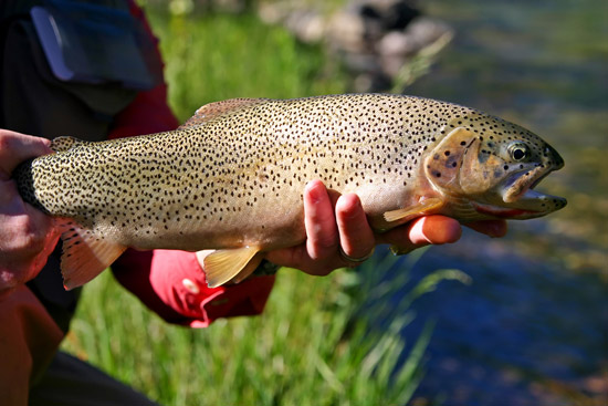 Trophy Cutthroat Trout About to Be Released