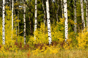 Aspens glow in early Autumn