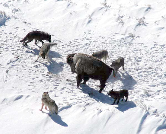 An American Bison standing its ground against a wolf pac